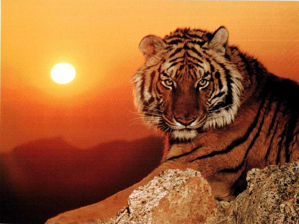 Mia persona tigro, Tomaso.